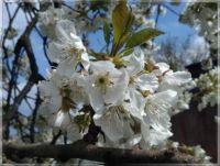 Třešňové květy  -  Cherry blossoms