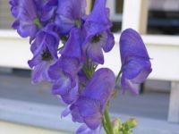 Monkshood in my garden