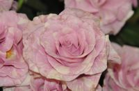 Pink striped roses