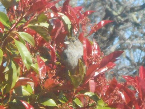 Sparrow in our Privet Hedge