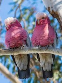Pink and White Parrots