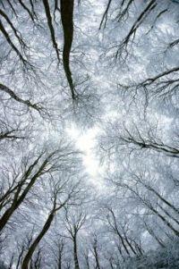 canopy of beech trees #4 Winter