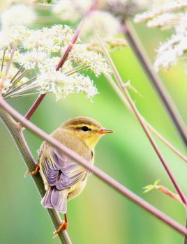 Willow Warbler, by midlander1231 on flickr
