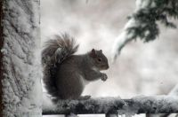 squirrel during our snowfall
