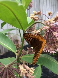 fritillary and milkweed--more challenging