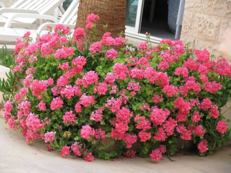 Lovely pink flowers in the garden of The Plaza Hotel, Amman, Jordan