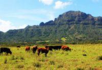 Cattle in Hawaii