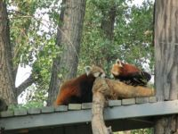 Red Pandas at ZOO Montana