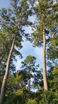 Tall Pines 1