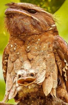Tawny Frogmouths!!
