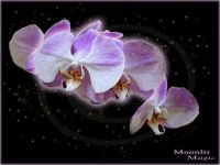 Orchid Fae (Small)