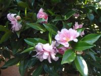 This year's camellias