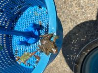 Rescued this amphibious creature from the pool skimmer