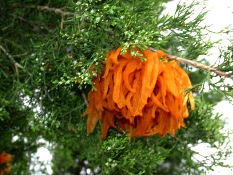 Orange decorations on Cedar tree.