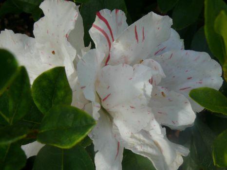 Azalea 'Crown Jewels' Flower