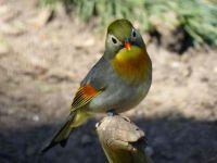 Pekin Robin / Red-billed Leiothrix
