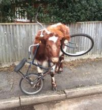 Cow in a fix
