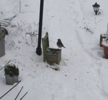 Kramsvogel (Turdus Pilaris) visiting us since last Monday
