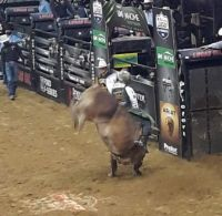 Almost a Handstand by this bull