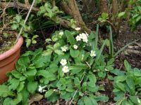 Primroses in my garden 2014