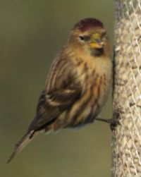 Redpoll with darker plumage.