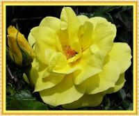A golden Friesia Rose.