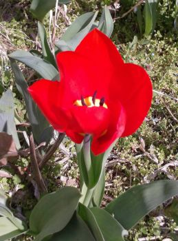 My first tulip this year