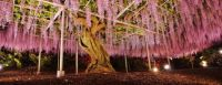 Giant Wisteria At Ashikaga Flower Park In Japan