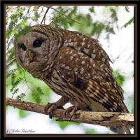Barred Owl by John Gunther 0