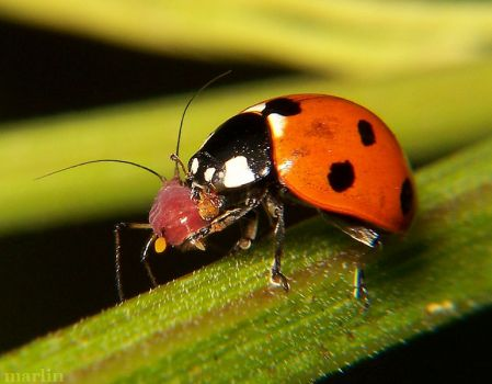 Seven-spotted Ladybug eating an Aphid.