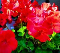Red Geraniums in the Sun