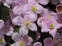 Clematis montana, Pink Perfection