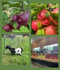 Apple Picking in New York