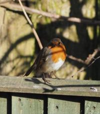 Little Robin in the Sun