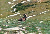 Bighorn Sheep, Rocky Mt. National Park