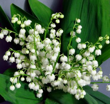 margaritar - lily of the valley