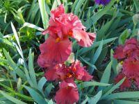 My Iris