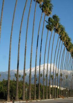 Palms in Redlands January.2011 (1)