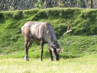 Reindeer are Domesticated Caribou
