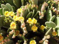 Blooming Pincushion Cactus