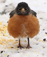 Even the robins are tired of the snow here!