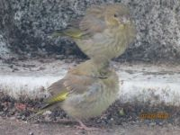 Two juvenile Greenfinches.