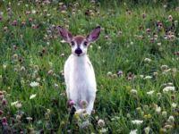 Piebald Deer ♥