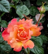 Orange Rose and Bud