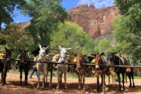 Grand Canyon mules.
