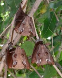 Fruit Bats (I think), Kruger National Park, South Africa