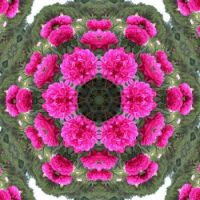 kaleidoscope 75 peonies medium