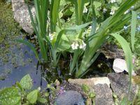 Garden - Pond 2 - Spot the Frog!