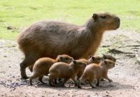Capybaras at the Berlin Zoo
