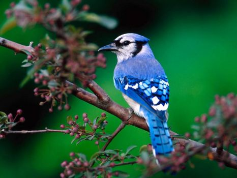 Beautiful Blue-Jay...